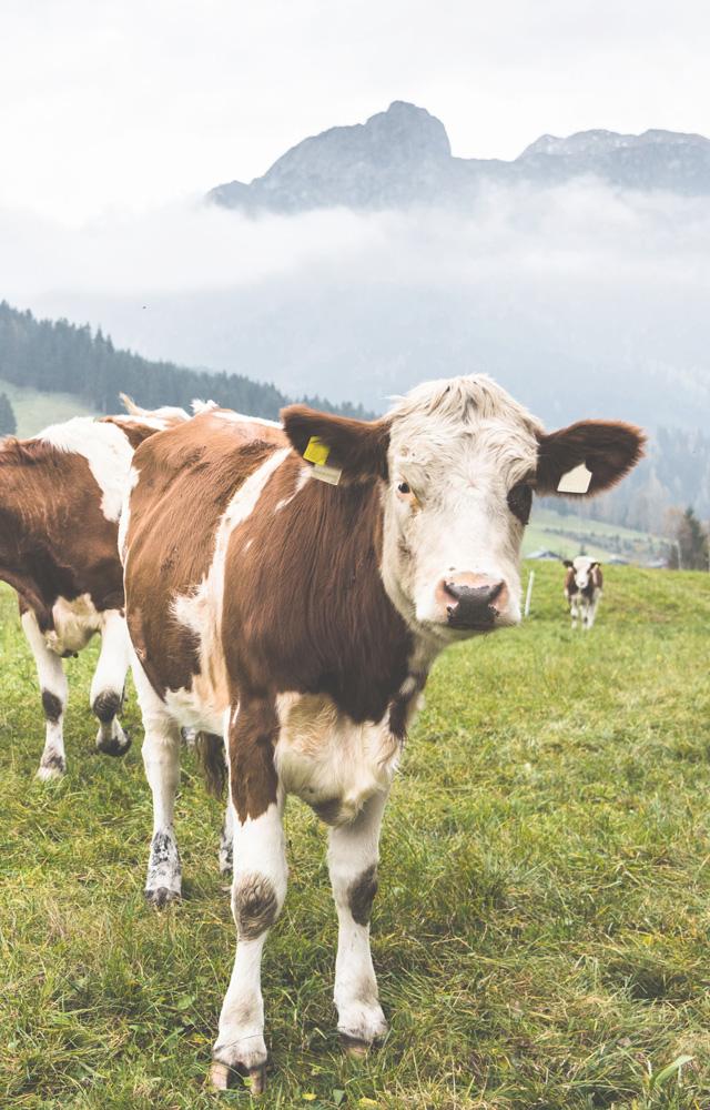 Eine Kuhli Muh in den österreichischen Bergen